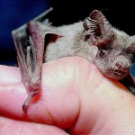 Do bats hold the key to longer life?