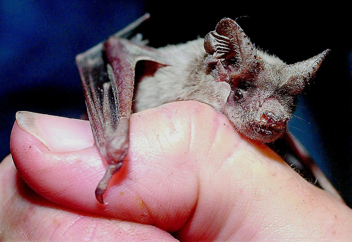 Work On Bats By Medical Researchers Like Linfa Of Singapore Has Revealed That The Flying Creatures Have Ability To Repair Dna Damage Their