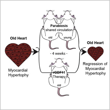 Scientists Discover Protein That Reverses Cardiac Aging