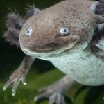 Salamander Regeneration May have Human Applications