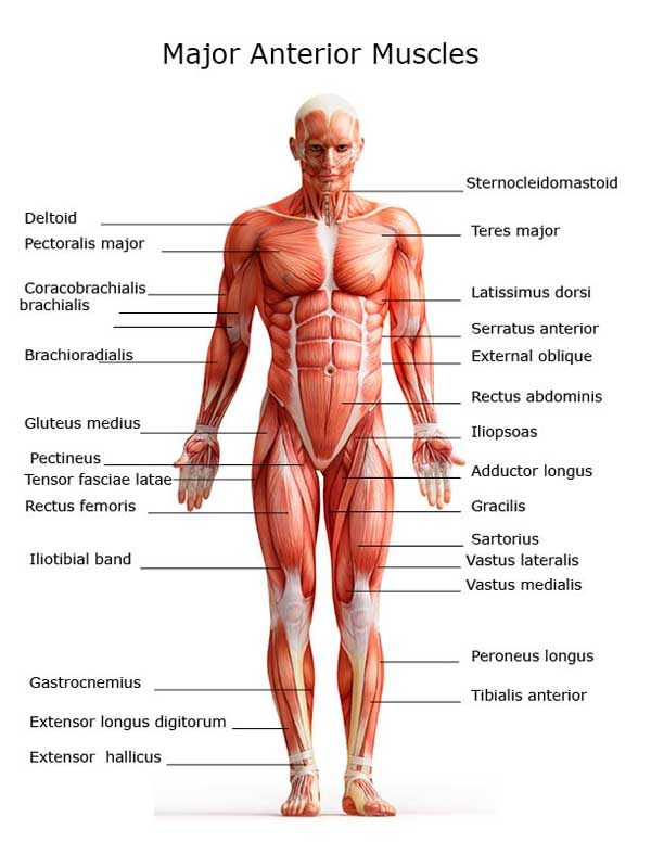 major-anterior-muscles