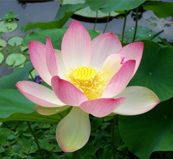 sacred-lotus