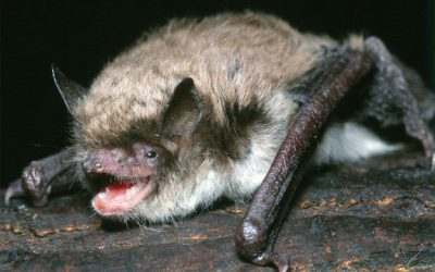 Surprising bat genetic trait holds secrets of longevity
