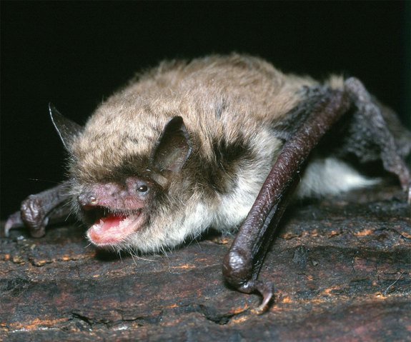 Longest-Living Bat Holds Clues to Longevity