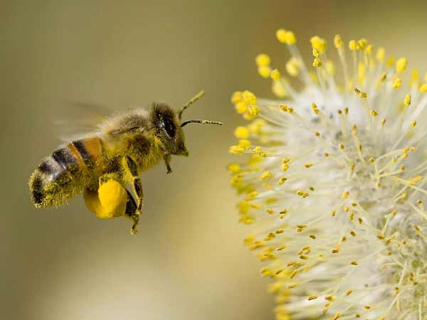 Bee Pollen Improves Longevity