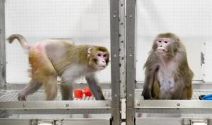 New monkey study suggests caloric restriction does promote longevity