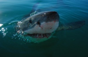 Extreme Longevity in Great White Sharks