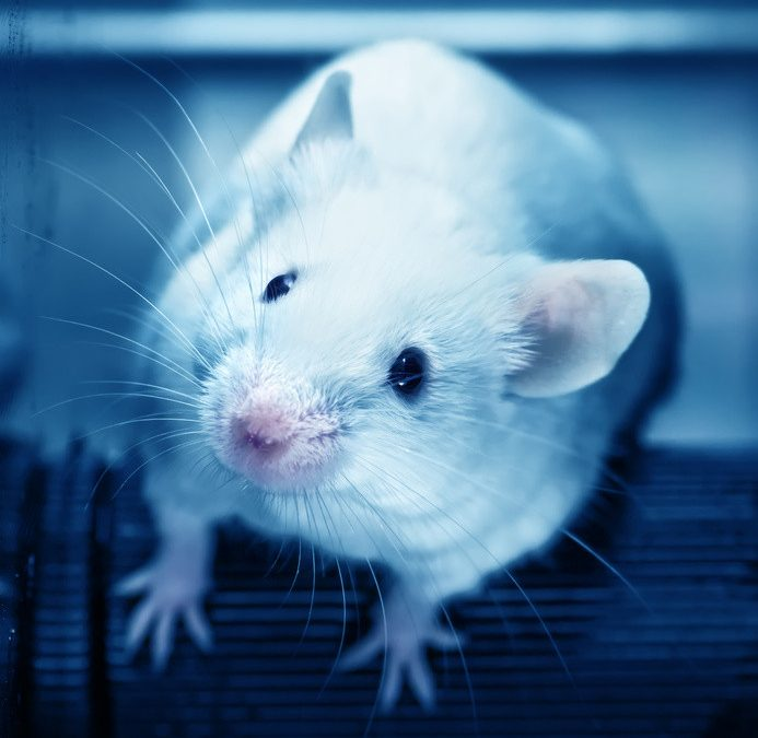 Experimental drug prolongs life span in mice