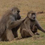 Study shows that in baboons, as well as humans, social relationships matter