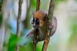 Mouse Lemurs Reveal the Secrets of Aging