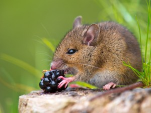 mouse-berry