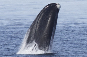 Could a 200-year-old whale offer clues to help humans live longer?