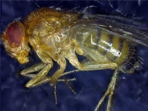 fruit-fly2