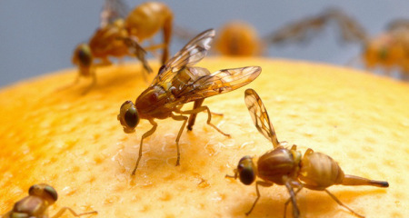 Fruit-fly find may pave way for human 'longevity'
