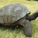 Meet Jonathan, St Helena's 182-year-old giant tortoise