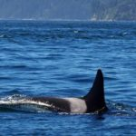 'Granny', the world's oldest killer whale