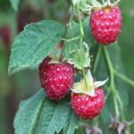 Raspberries: Berry Good for Your Heart, Blood Sugar, and Bones
