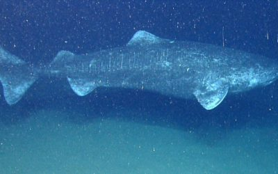 Scientists find incredible shark that may be over 500 years old and still kicking