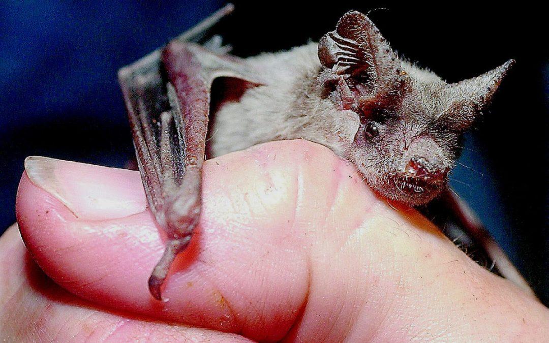 Do bats hold the key to longer life?