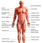 Scientists make old muscles young again