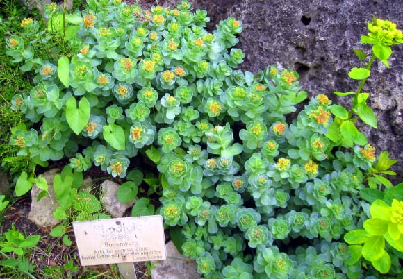 Rhodiola Extract Extends Lifespan in Drosophila