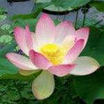 Sacred Lotus May hold secrets of aging