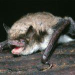 Longest-Living Bat Holds Clues to Longevity