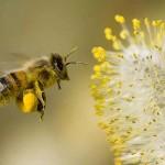 Bee Pollen Improves Longevity