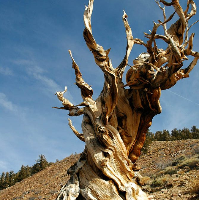 The Oldest Living Things