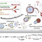 Researchers uncover mechanism behind blood stem cells' longevity