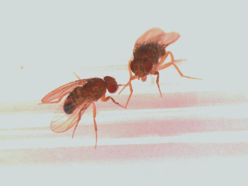 Fruit flies with better sex lives live longer
