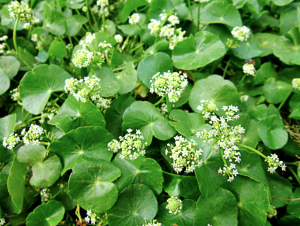 Latest Anti-Aging Skin Breakthrough: An Ancient Herb