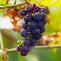 grapes-resverterol