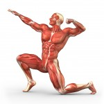 Study: Muscle mass equals longevity