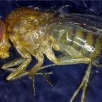 Prolonging lifespan: Researchers create 'Methuselah fly' by selecting best cells