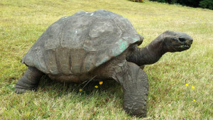 oldest-turtle
