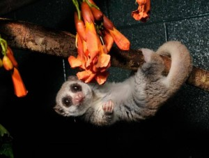 Study of hibernating lemurs could provide clues to longevity in people