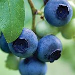 Blueberries Boost Longevity