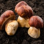 Mushrooms May Fight Aging