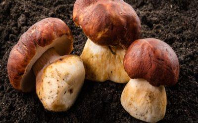 Mushrooms May Fight Aging